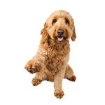 Shop for Goldendoodles