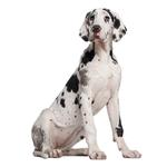 Shop for Great Danes