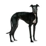 Shop for Greyhounds