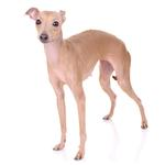 Shop for Italian Greyhounds