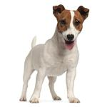Shop for Jack Russell Terriers