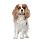 Shop for King Charles Spaniels