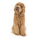 Shop for Labradoodles