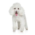 Shop for Miniature Poodles