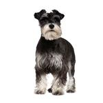 Shop for Miniature Schnauzers