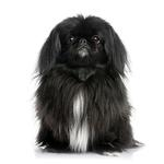 Shop for Pekingeses