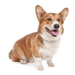 Shop for Pembroke Welsh Corgis