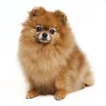 Shop for Pomeranians