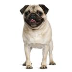 Shop for Pugs