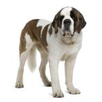 Shop for Saint Bernards