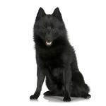 Shop for Schipperkes