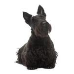 Shop for Scottish Terriers