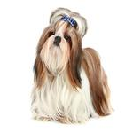 Shop for Shih Tzus