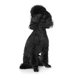 Shop for Standard Poodles