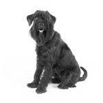 Shop for Standard Schnauzers