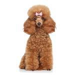 Shop for Toy Poodles