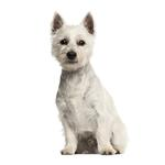 Shop for West Highland White Terriers