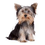 Shop for Yorkshire Terriers